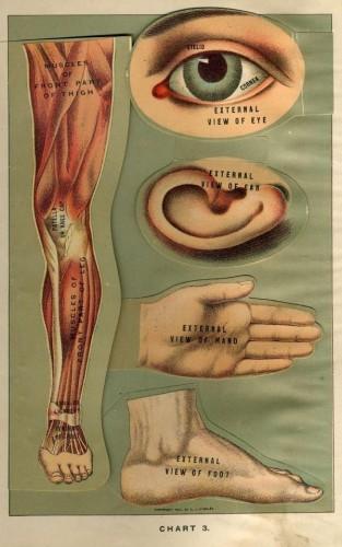 anatomy_body_parts