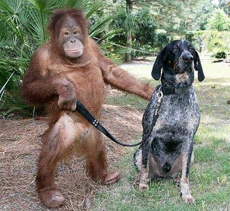 orangutan-and-a-blue-tick-hound