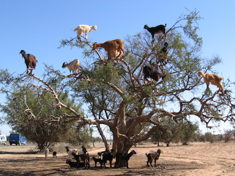 tree-dwelling-goats