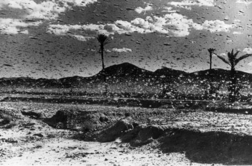 circa 1954: Solitary in behaviour and camouflaged at low population levels, locusts become gregarious and brightly coloured when population density is high. Locusts swarm and migrate causing massive destruction of crops and vegetation. (Photo by Keystone/Getty Images)