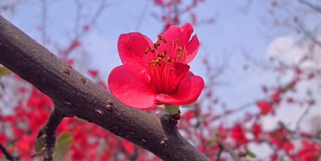 begonia in bloom